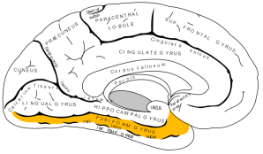Fusiform gyrus
