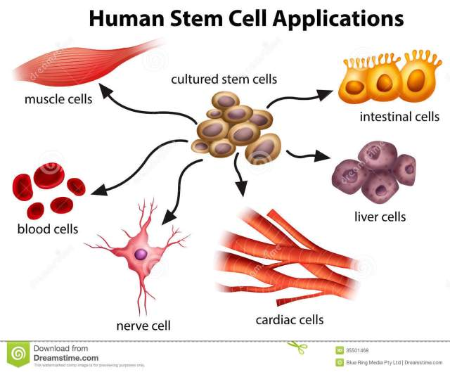Possible human stem cell applications